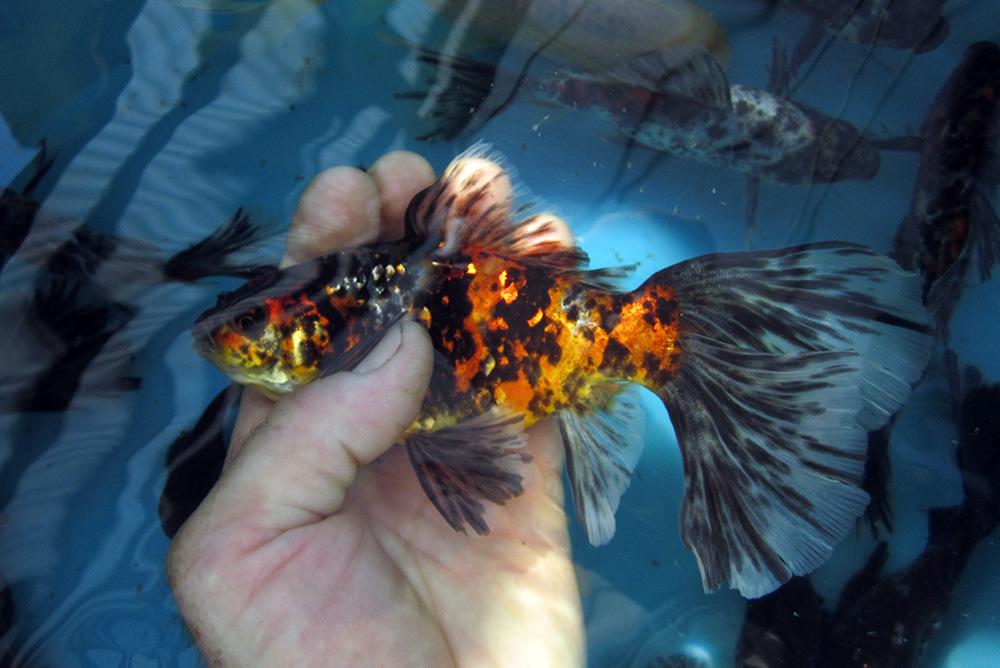 Allevamento pesci rossi e carpe koi bristol shubunkin for Allevamento pesci