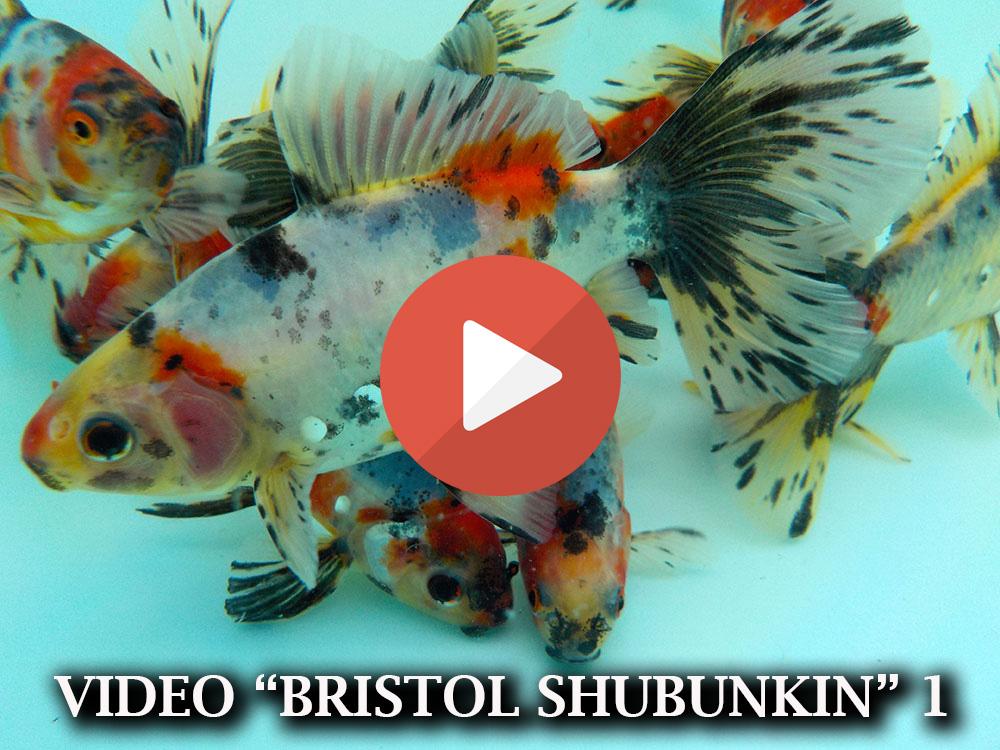 Allevamento pesci rossi e carpe koi pesci bristol shubunkin for Razze di pesci rossi