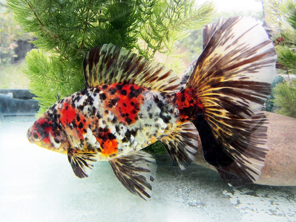 Pesci rossi variet for Pesce oranda