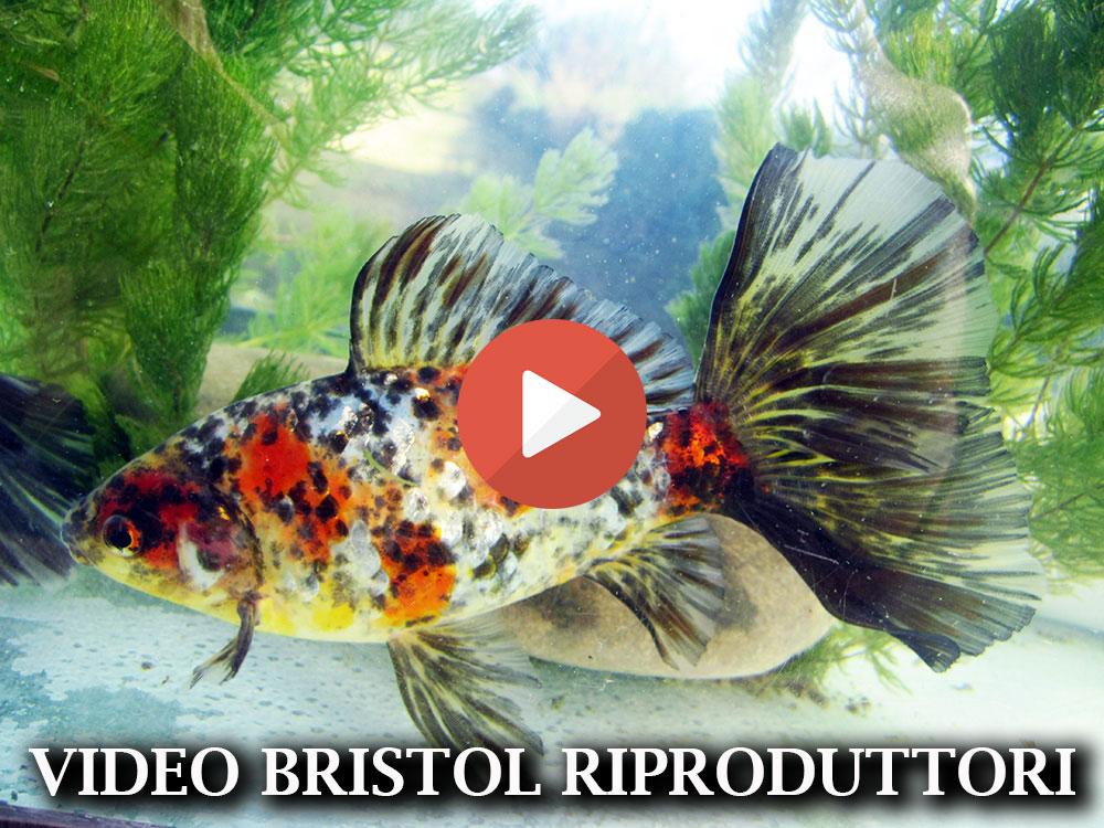 Allevamento pesci rossi e carpe koi pesci bristol shubunkin for Vaschetta pesci rossi offerte