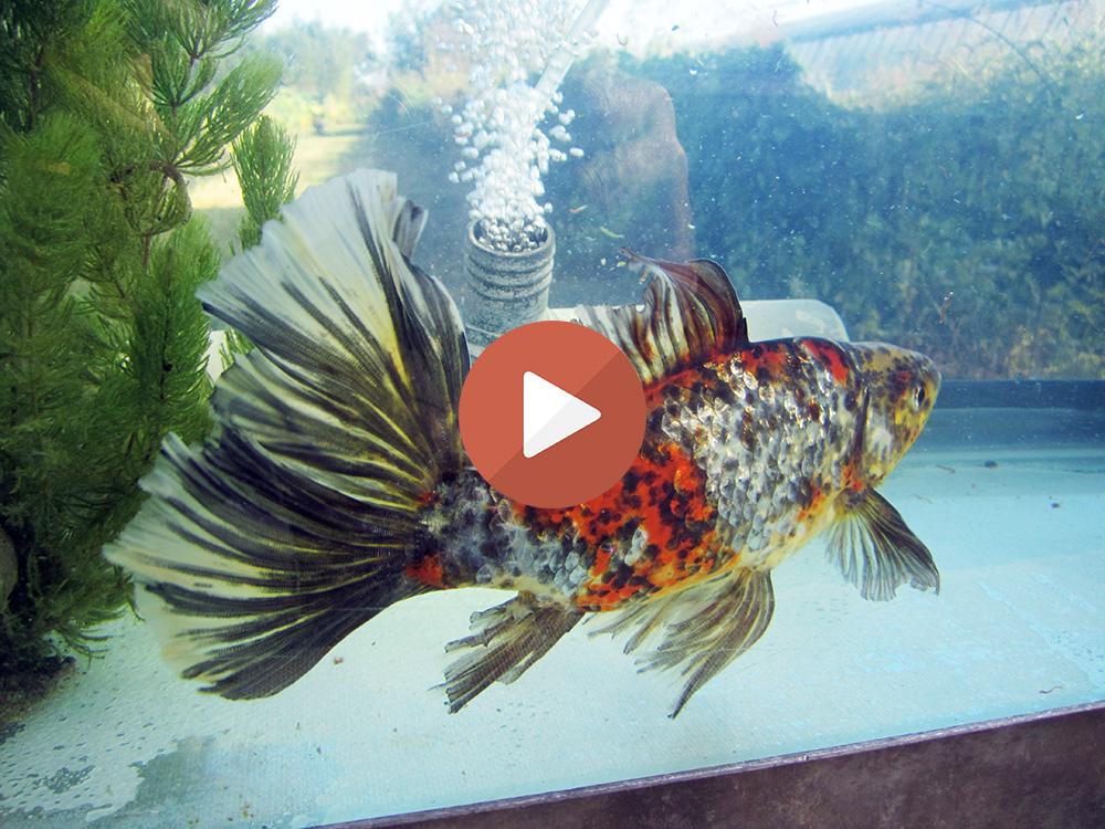 Allevamento pesci rossi e carpe koi bristol shubunkin for Pesci rossi carpe