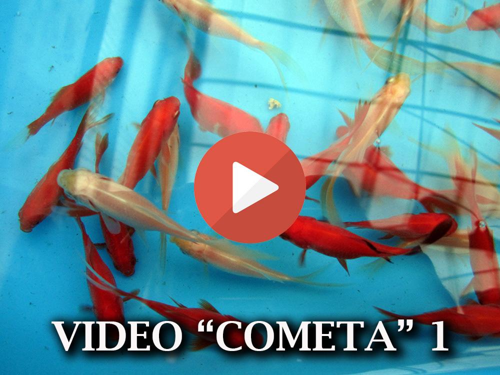 Allevamento pesci rossi e carpe koi pesci rossi cometa for Vendita koi