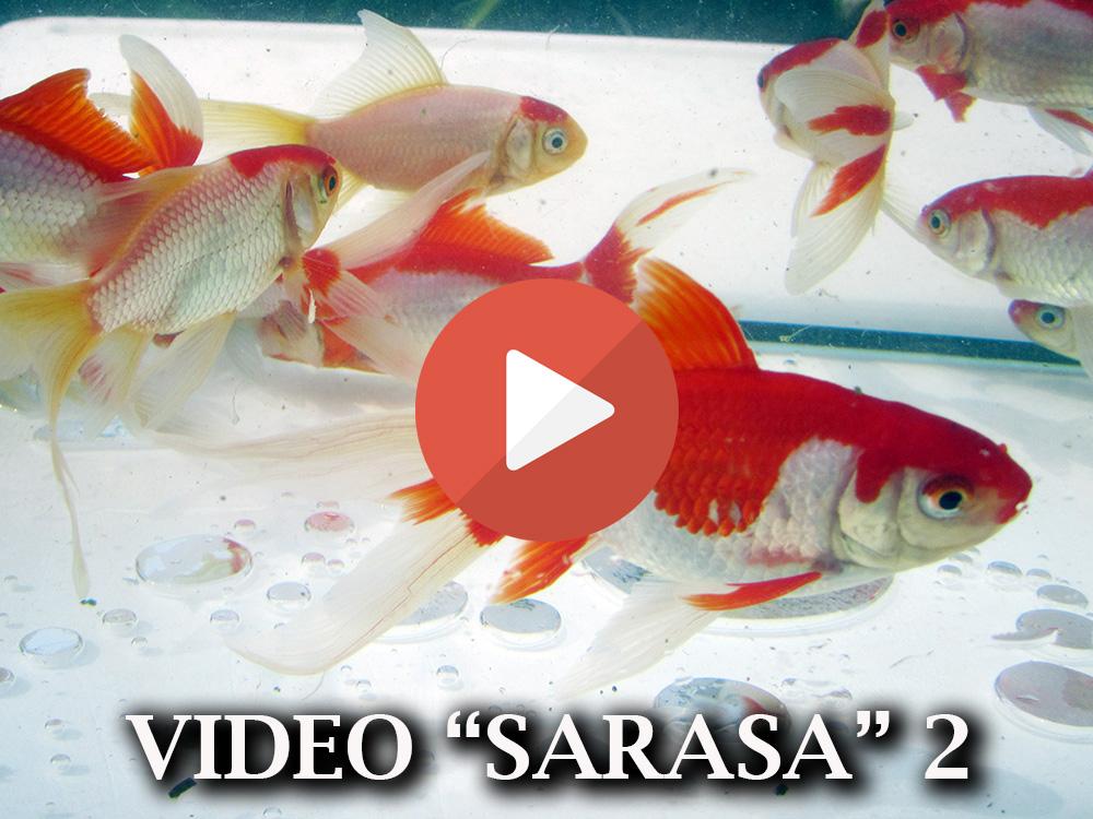 Allevamento pesci rossi e carpe koi pesci sarasa for Pesce rosso butterfly
