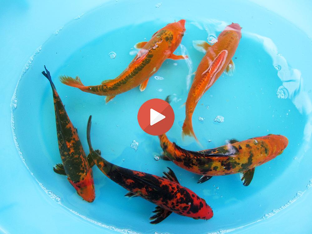Allevamento pesci rossi e carpe koi carpe koi 20 30 for Vaschetta pesci rossi offerte