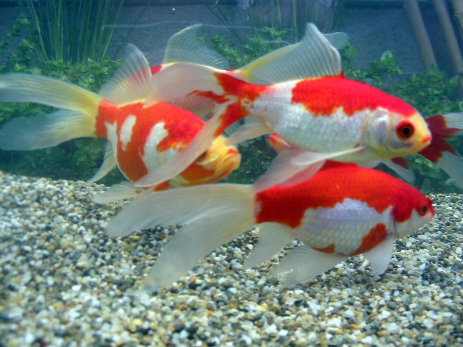 Pesci rossi variet for Dove comprare pesci rossi