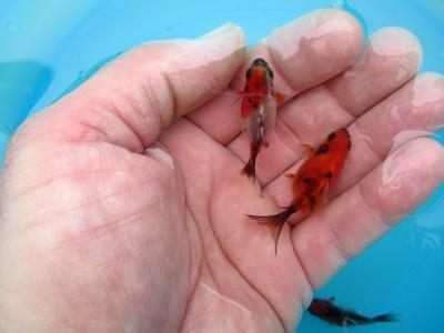 Allevamento pesci rossi e carpe koi pesci bombetta 2 3 for Pesce rosso butterfly