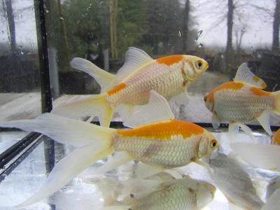 Allevamento pesci rossi e carpe koi pesci canarino for Vaschetta pesci rossi offerte