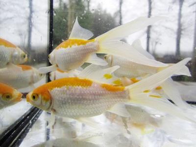 Allevamento pesci rossi e carpe koi pesci canarino for Vendita koi
