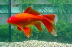 Allevamento pesci rossi e carpe koi for Carpa pesce rosso