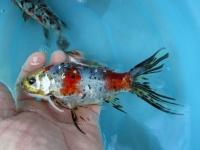 Allevamento pesci rossi e carpe koi for Pesci rossi carpe